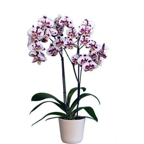 Купить на заказ Заказать Орхидея микс. с доставкой по Жескасгану с доставкой в Жезказгане